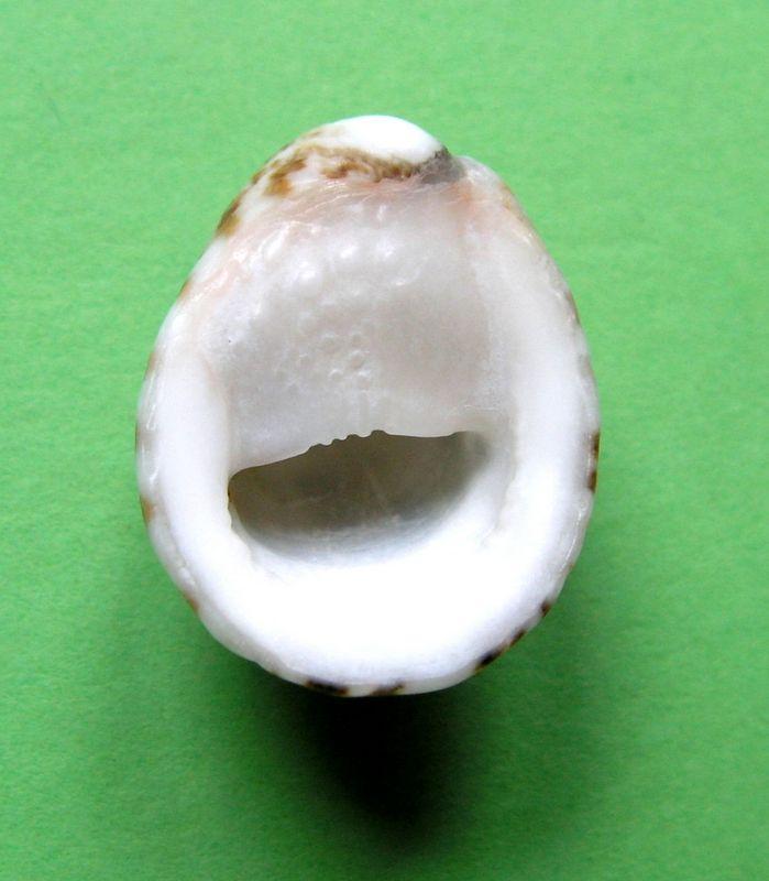 Nerita albicilla - Linnaeus, 1758 Nerialbi13