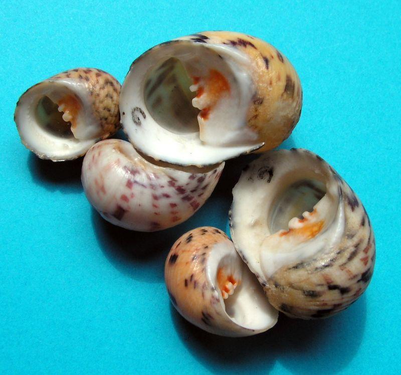 Nerita peloronta - Linnaeus, 1758 Neripelo16