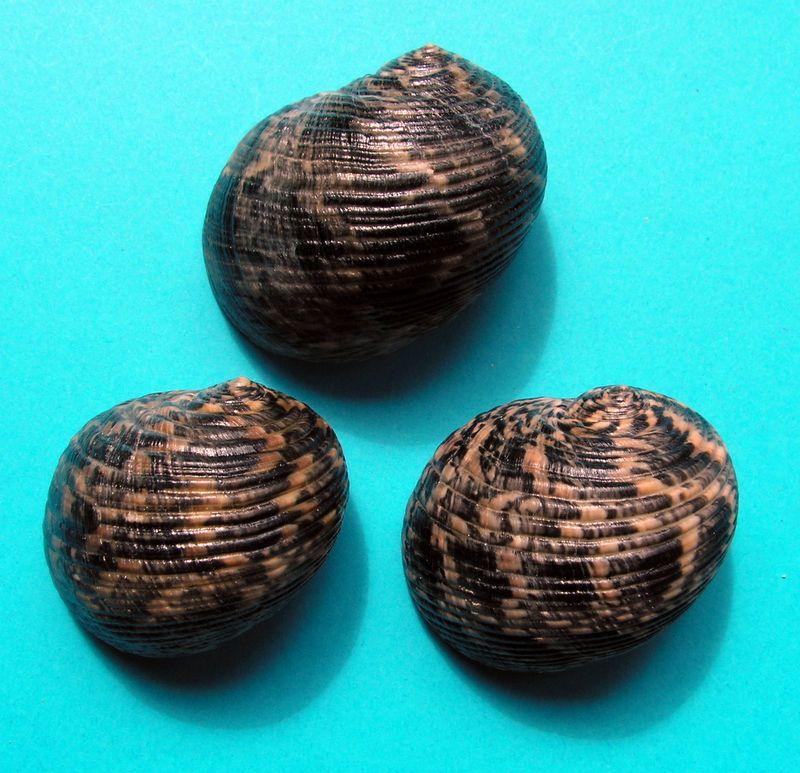 Nerita striata - Burrow, 1815 Neristri10