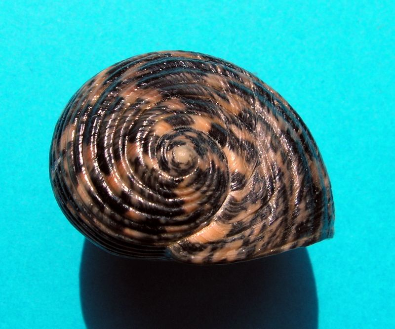 Nerita striata - Burrow, 1815 Neristri12