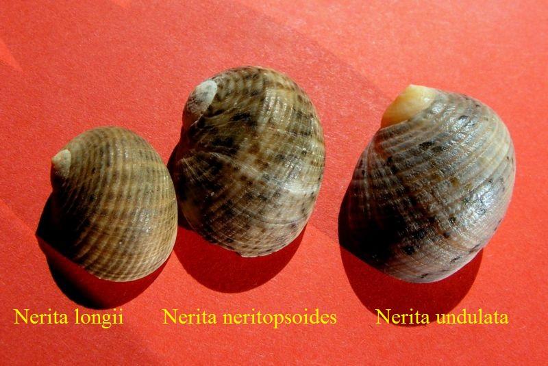Nerita undulata - Gmelin, 1791 Neriundu10
