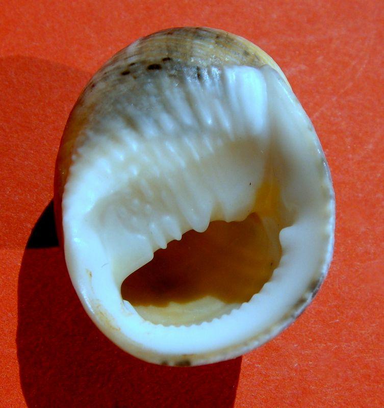 Nerita undulata - Gmelin, 1791 Neriundu13