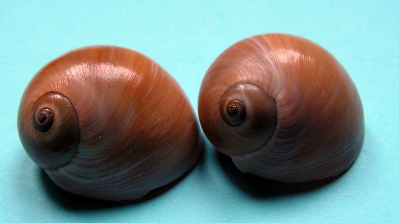 Neverita reclusiana - (Deshayes, 1839) Nevrec10