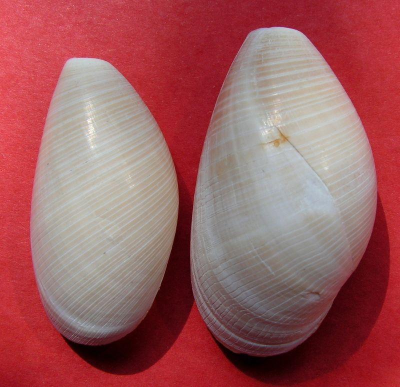 Scaphandridae - Scaphander lignarius - (Linnaeus, 1758) Scaplign10
