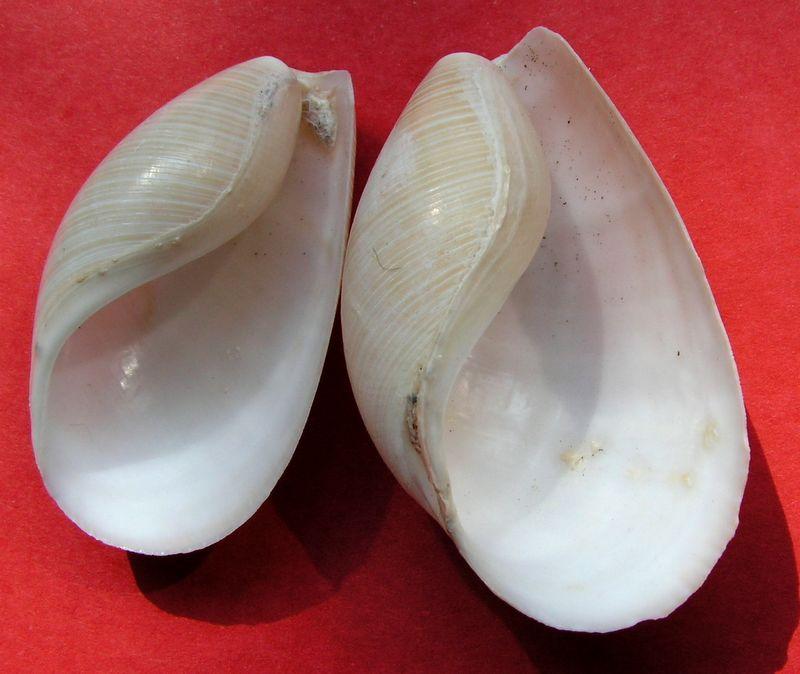 Scaphandridae - Scaphander lignarius - (Linnaeus, 1758) Scaplign11