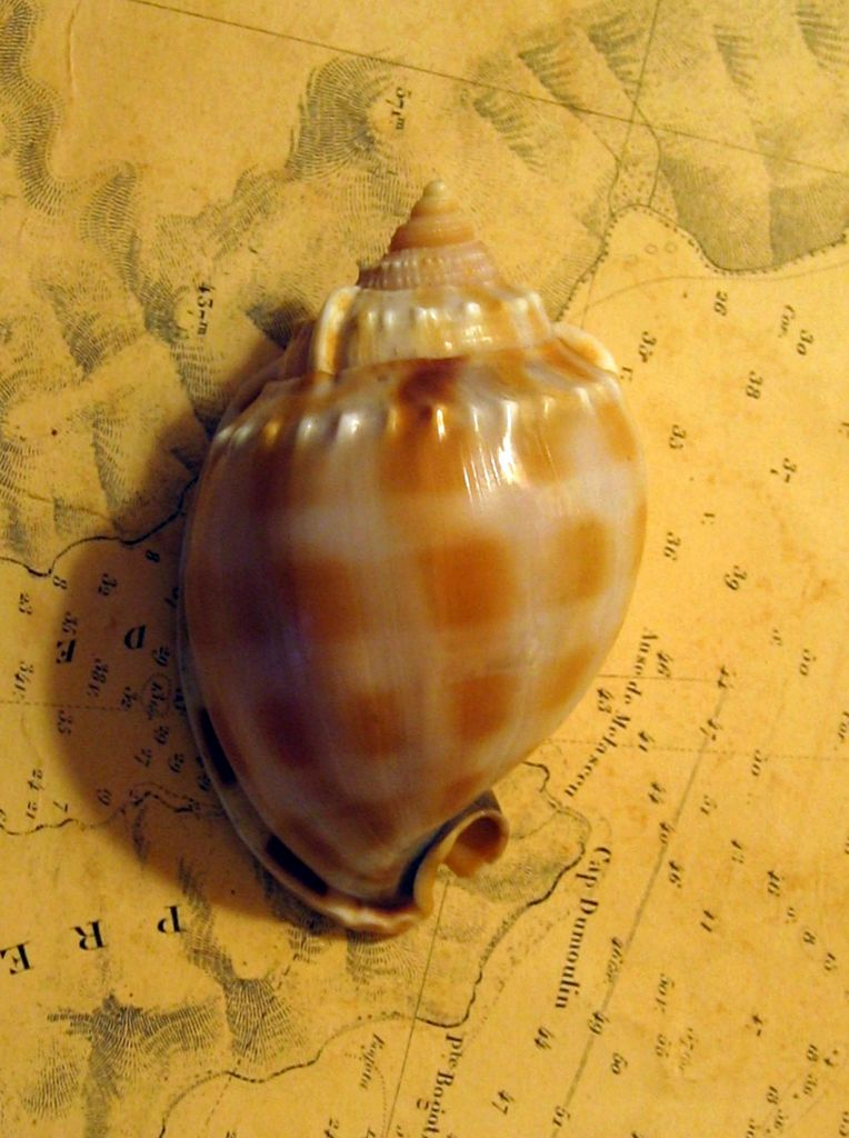 Phalium bandatum - (Perry, 1811) Phalband11