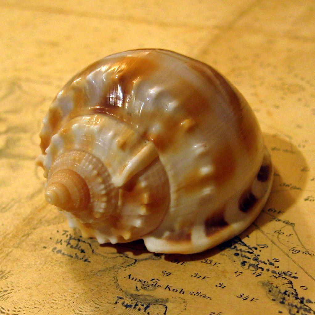 Phalium bandatum - (Perry, 1811) Phalband_0