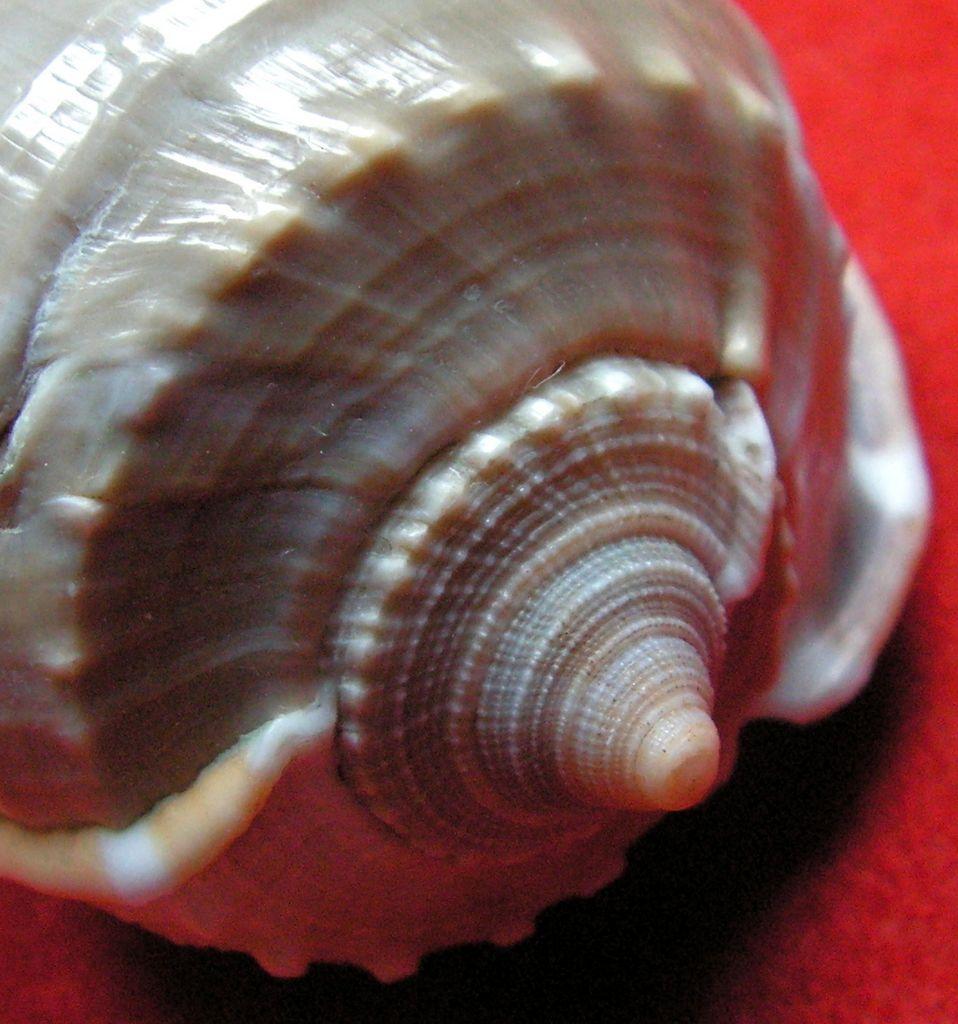 Phalium glaucum - (Linnaeus, 1758) Phalglau15