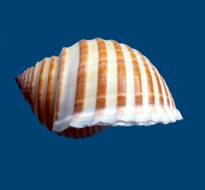 Tonna hardyi - (Bozzetti & Ferrario, 2005) voir Tonna allium - (Dillwyn, 1817) Tonnhard10
