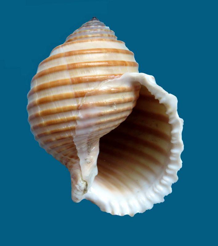 Tonna hardyi - (Bozzetti & Ferrario, 2005) voir Tonna allium - (Dillwyn, 1817) Tonnhard13