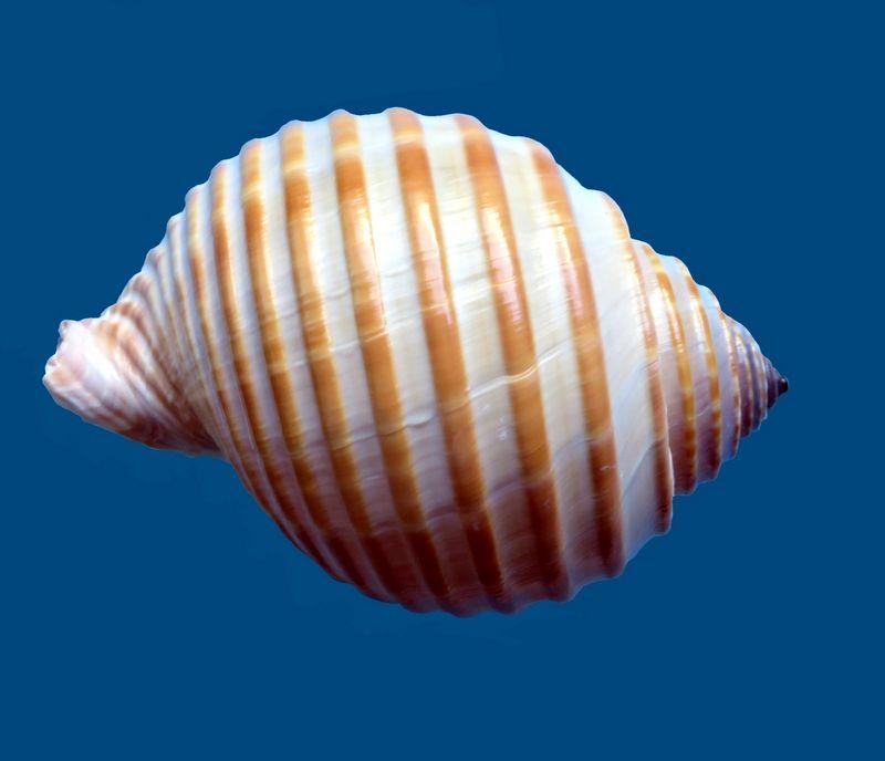 Tonna hardyi - (Bozzetti & Ferrario, 2005) voir Tonna allium - (Dillwyn, 1817) Tonnhard15
