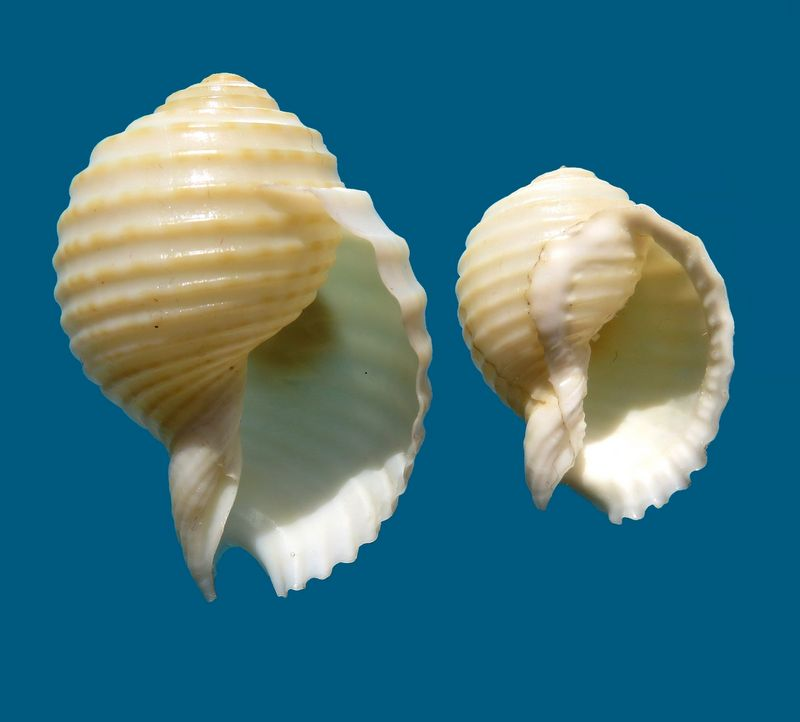 Tonna allium - (Dillwyn, 1817)  Tonnalli18