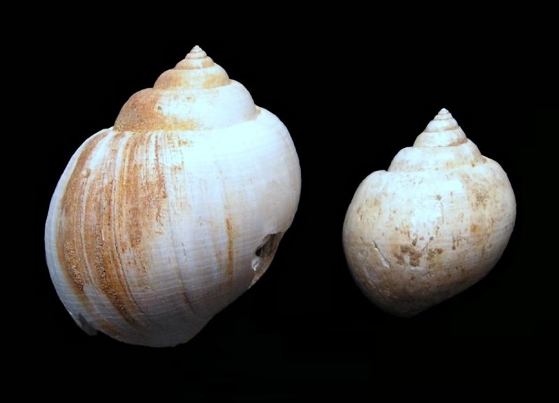 Ampullinidae - † Amaurellina (Crommium) angustata Grateloup, 1827 - Oligocène (Rupélien) (Gaas - Landes) Amauangu10