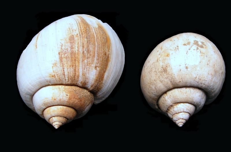 Ampullinidae - † Amaurellina (Crommium) angustata Grateloup, 1827 - Oligocène (Rupélien) (Gaas - Landes) Amauangu11