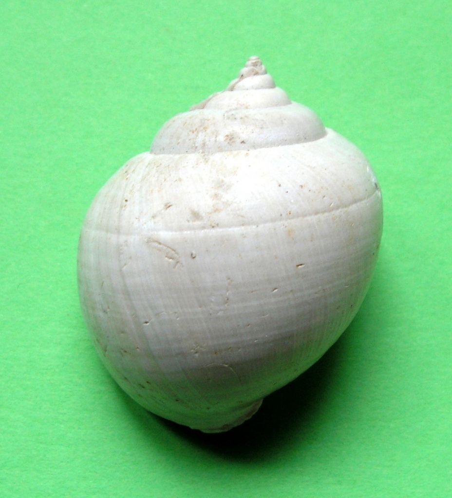 Ampullinidae - † Ampullina willemeti (Deshayes, 1825) - (Bassin Parisien) Ampuwill11