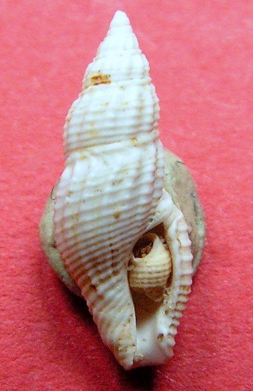 Columbellidae - † Anachis rissoides (Grateloup, 1834) - Burdigalien (St Martin d'Oney 40) Anacriss12