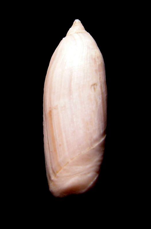 Olividae - † Ancillarina canalifera (Lamarck, 1803) - Fleury la Rivière 51 Ancicana11