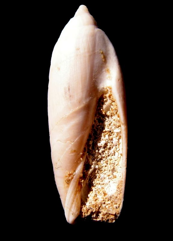Olividae - † Ancillarina canalifera (Lamarck, 1803) - Fleury la Rivière 51 Ancicana12