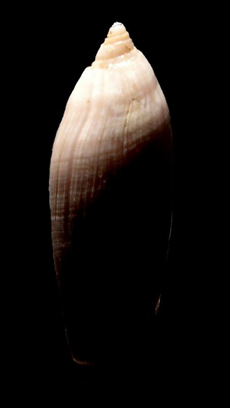 Olividae - † Ancillarina canalifera (Lamarck, 1803) - Fleury la Rivière 51 Ancicana_0