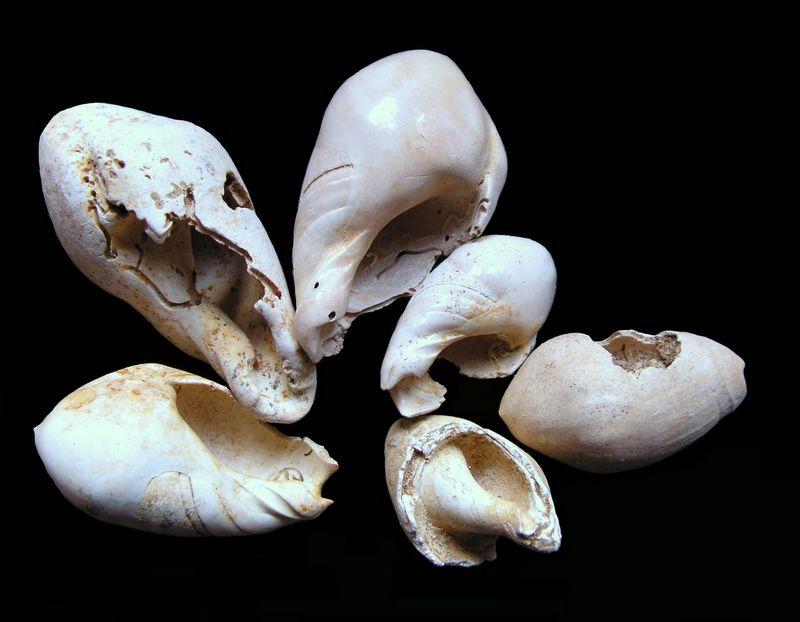 Olividae - † Ancilla (Baryspira) glandiformis (LAMARCK, 1811) - (St Martin d'Oney 40) Anciglan11