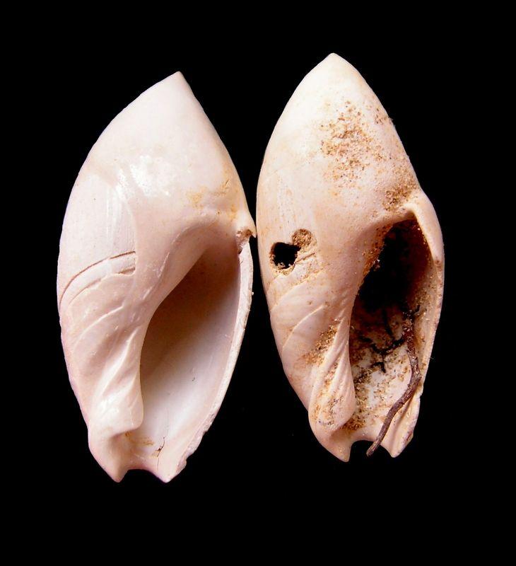 Olividae - † Ancilla (Sparella) obsoleta (BROCCHI, 1814) - de l' Aquitaine  Anciobso12