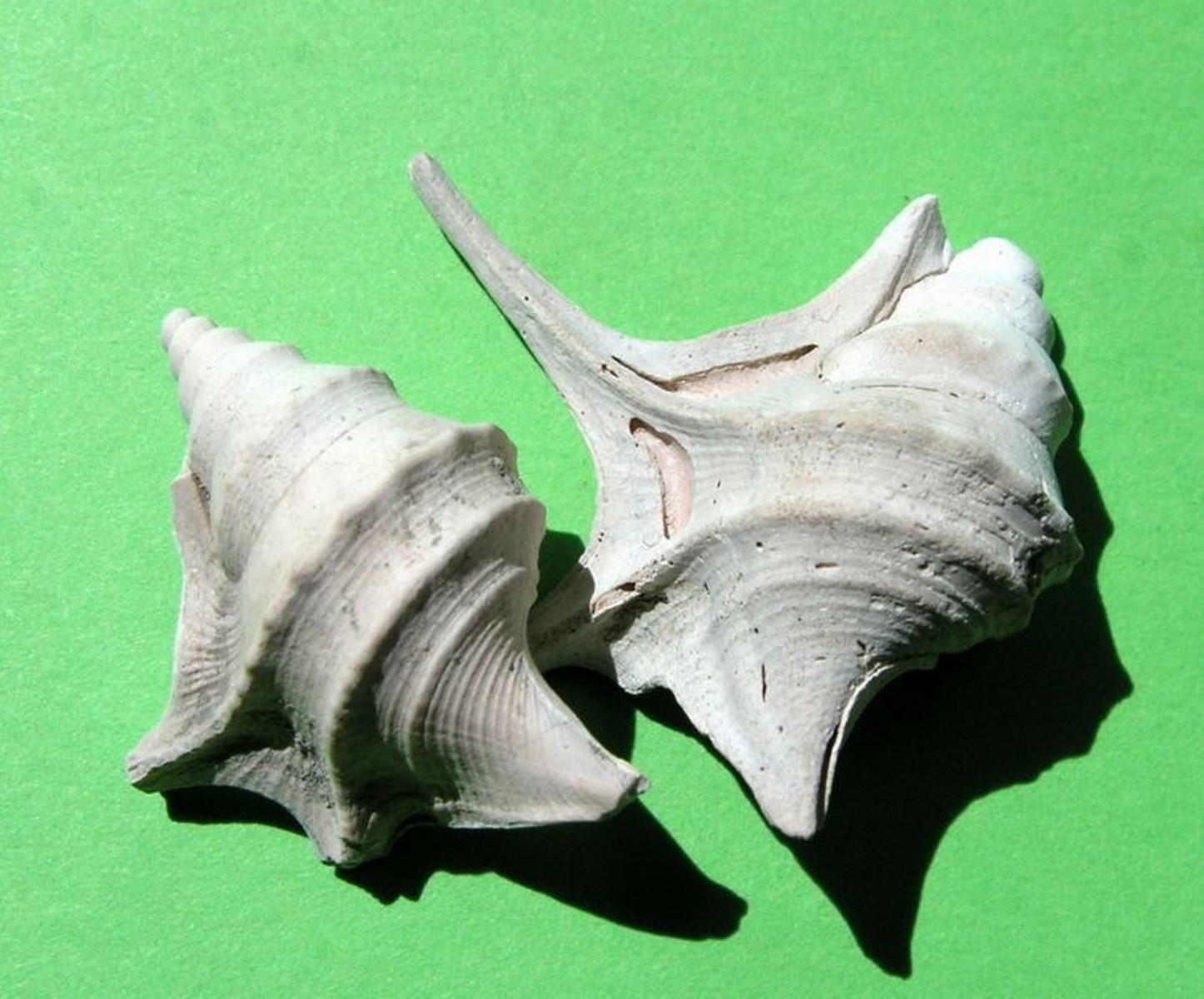 Aporrhaidae - † Aporrhais uttingeriana (Risso, 1826) - Plaisancien   Aporhutt10
