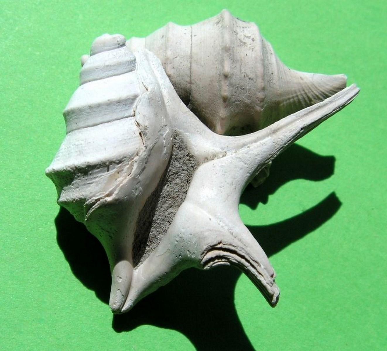 Aporrhaidae - † Aporrhais uttingeriana (Risso, 1826) - Plaisancien   Aporhutt11