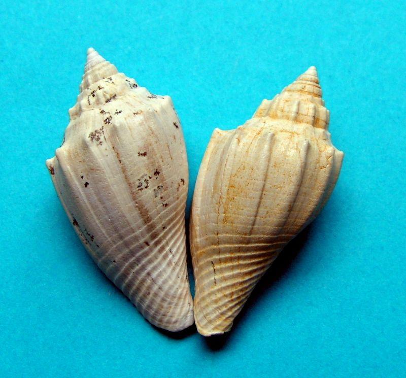 Volutidae - † Athleta (Volutospina) depauperatus (Sowerby, 1823) - Bartonien (Bassin Parisien) Athldepa11