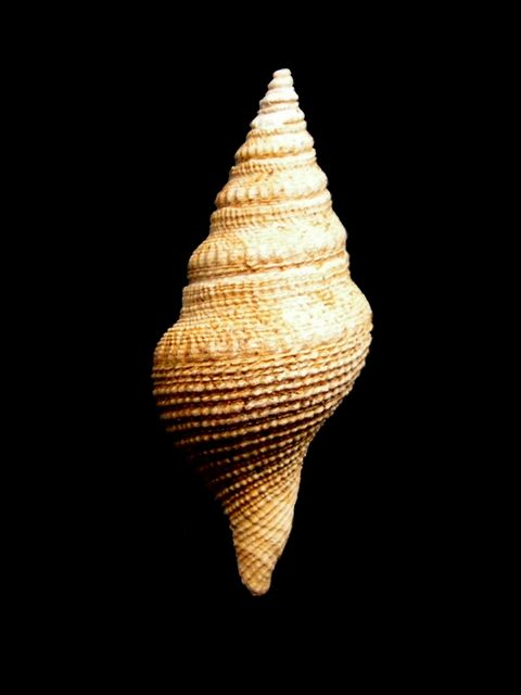 Borsoniidae - † Bathytoma cataphracta (Brocchi, 1814) - Burdigalien (Miocène de Gironde) Bratcata11