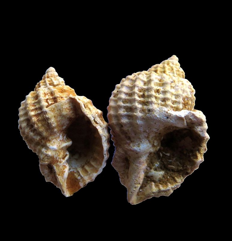 Cancellariidae - † Bivetiella subcancellata (d' Orbigny, 1852) - Burdigalien Bivesubc11
