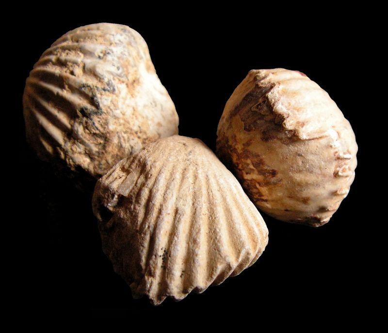 Brachiopodes sp. Brachio11