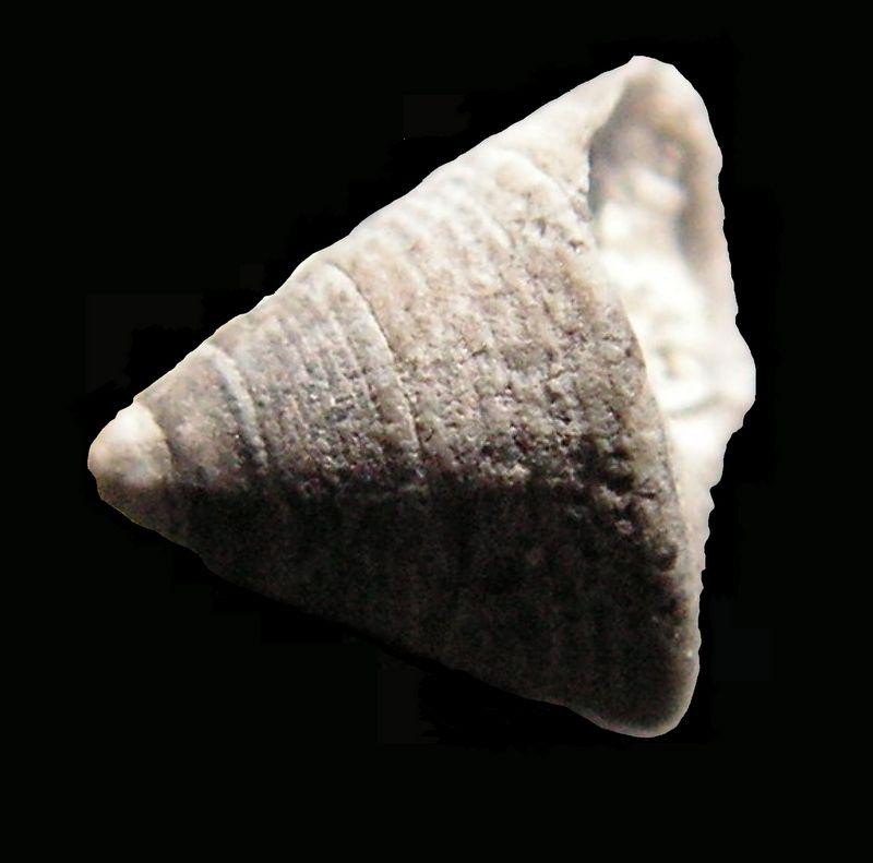 Calliostomatidae - † Callistoma subtilestriatum (Cossmann & Peyrot, ?) - Serravalien Callsubt10
