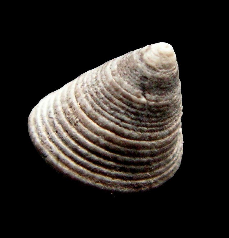 Calliostomatidae - † Callistoma subtilestriatum (Cossmann & Peyrot, ?) - Serravalien Callsubt11