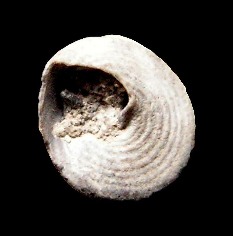 Calliostomatidae - † Callistoma subtilestriatum (Cossmann & Peyrot, ?) - Serravalien Callsubt_0