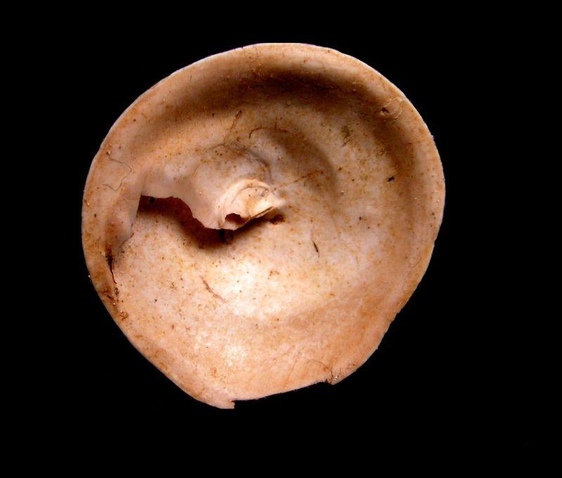 Calyptraeidae - † Calyptraea depressa (Lamarck, 1822) de l' Aquitaine Calydpre_0