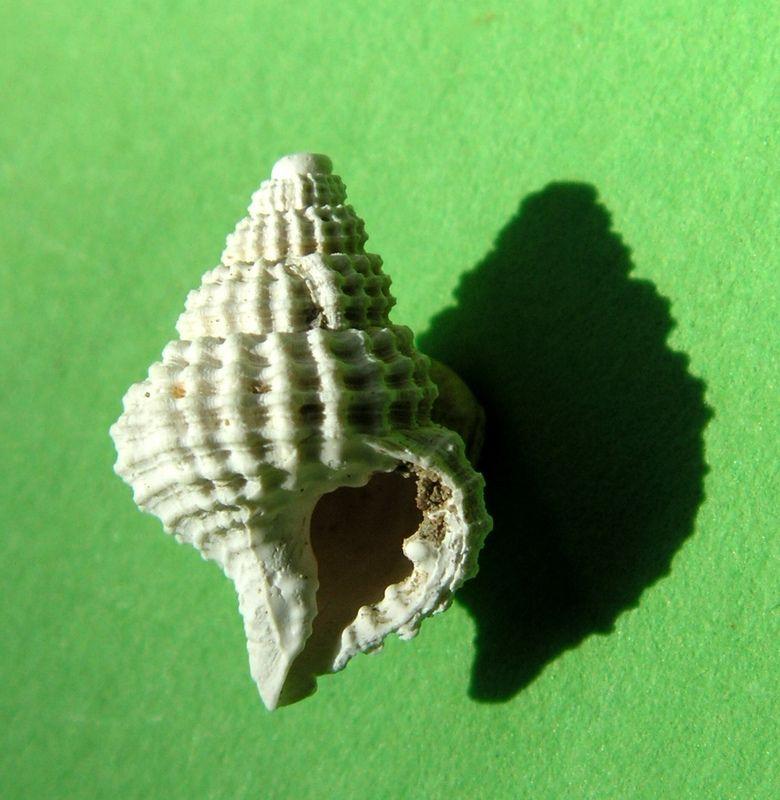 Cancellariidae - † Cancellaria cancellata (von Linné, 1767) - Plansancien, Pliocène Cancella_0