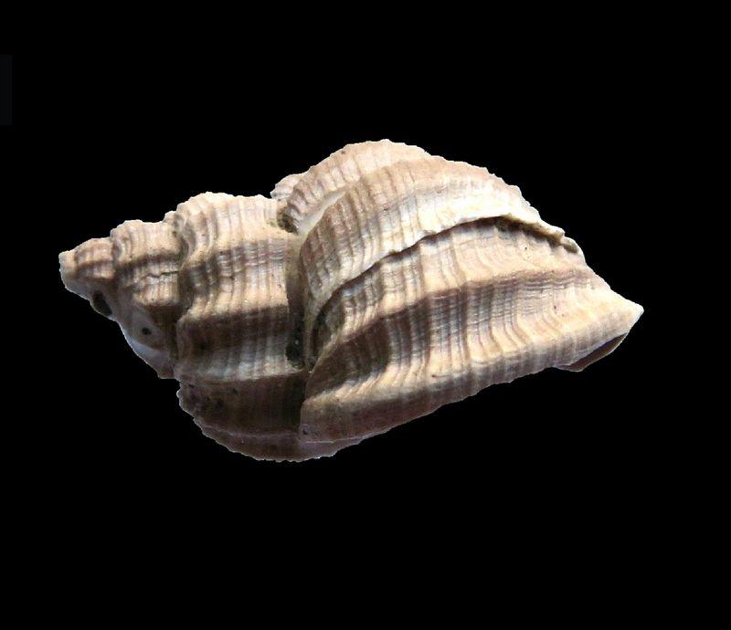 Cancellariidae - † Cancellaria contorta (Basterot, 1825) - Burdigalien de Gironde Canconto10
