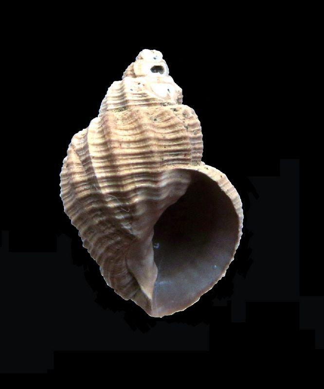 Cancellariidae - † Cancellaria contorta (Basterot, 1825) - Burdigalien de Gironde Canconto11