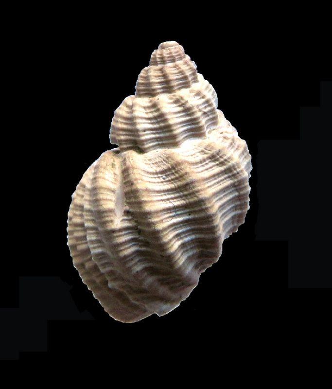 Cancellariidae - † Cancellaria contorta (Basterot, 1825) - Burdigalien de Gironde Canconto12