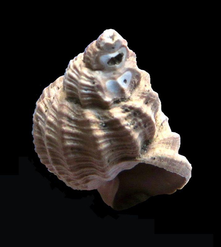 Cancellariidae - † Cancellaria contorta (Basterot, 1825) - Burdigalien de Gironde Canconto_0