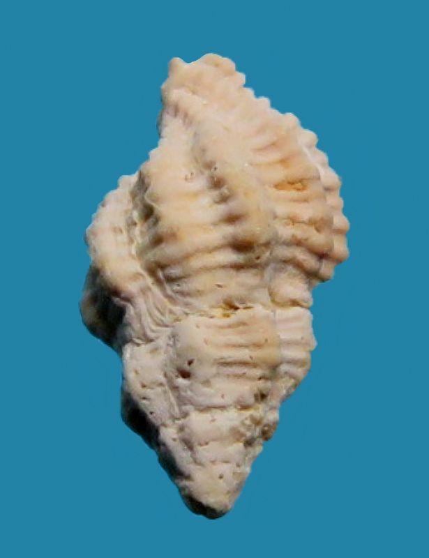 Pisaniidae - † Tritonidea (Cantharus) berellensis (de Laubrière & Carez, 1880) - Lutétien Cantbere11