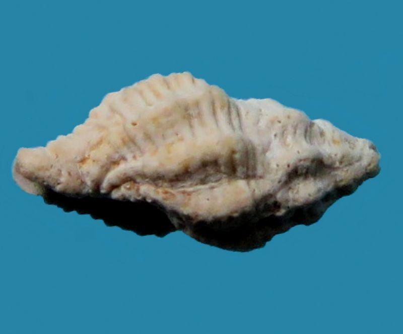 Pisaniidae - † Tritonidea (Cantharus) berellensis (de Laubrière & Carez, 1880) - Lutétien Cantbere15