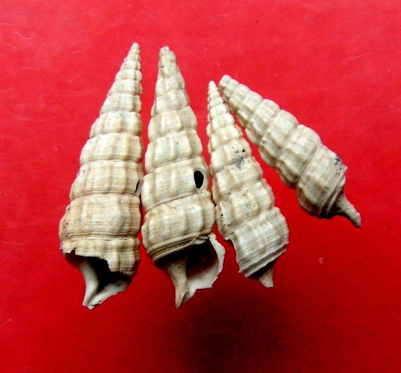 Cerithiidae - † Ptychocerithium heptagonum (Meyer-Aymar, ....) - (St Martin d'Oney 40) Cerihept10