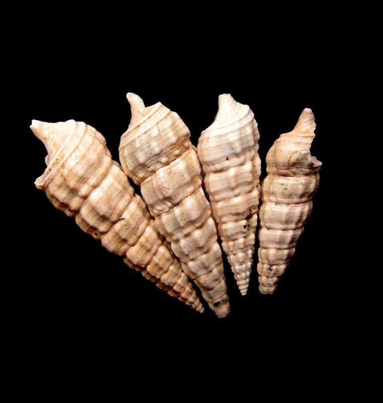 Cerithiidae - † Ptychocerithium heptagonum (Meyer-Aymar, ....) - (St Martin d'Oney 40) Cerihept12