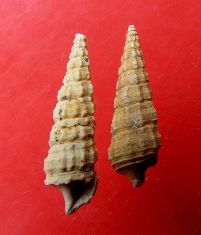 Cerithiidae - † Ptychocerithium heptagonum (Meyer-Aymar, ....) - (St Martin d'Oney 40) Cerihept14
