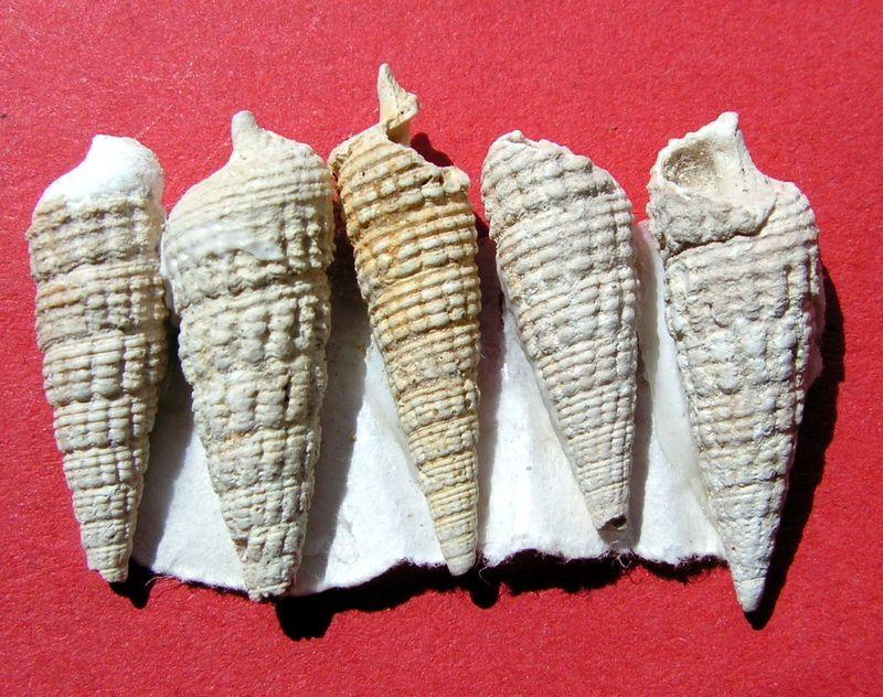 Cerithiidae - † Granulolabium plicatum (Bruguière, 1792) - Région Parisienne Ceriplic16