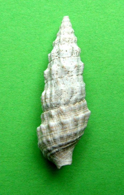 Cerithiidae - † Cerithium vulgatum (Bruguière, 1792) - de Tunisie  Cerivulgf13