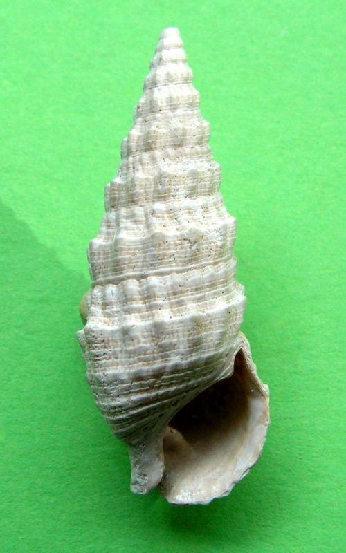 Cerithiidae - † Cerithium vulgatum (Bruguière, 1792) - de Tunisie  Cerivulgf14