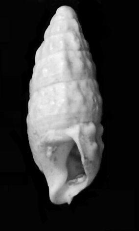 Cerithiidae - † Cerithium vulgatum miocaenicum (Vignal, 1910) - Burdigalien Cervulmio10