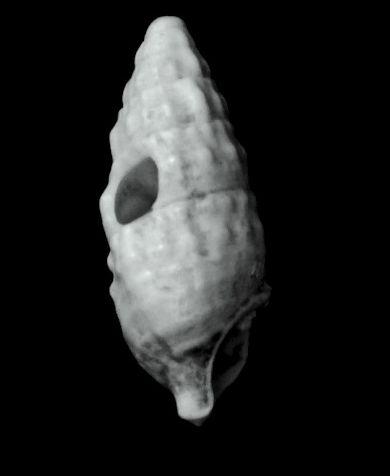 Cerithiidae - † Cerithium vulgatum miocaenicum (Vignal, 1910) - Burdigalien Cervulmio11